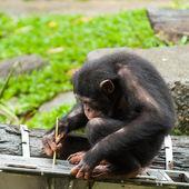 Common Chimpanzee — Stock Photo