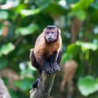Stock Photo: Tufted Capuchin