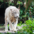 Stock Photo: White Bengal Tiger