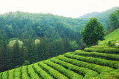 Boseong Tea Fields — Stock Photo