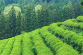 Boseong Tea Fields — Stock Photo
