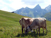 Cows in the Alps — Stock Photo