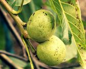 Walnut tree in late summer — Stock Photo