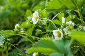 çilek çiçek — Stok fotoğraf