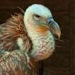 Stock Photo: Griffon vulture(Gyps fulvus)