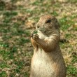 Prairie dog(Cynomys ludovicianus) — Stock Photo