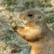 Prairie dog(Cynomys ludovicianus) — Stock Photo #29100507