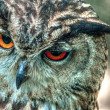 Eurasian Eagle Owl - Uhu(bubo bubo) — Stock Photo