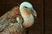 Griffon vulture(Gyps fulvus) — Stock Photo