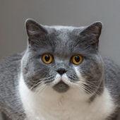 British Shorthair Cat — Stock Photo