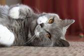 ブリティッシュショートヘアの猫 — Stockfoto