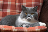 British Shorthair Cat on the Chair — Stock Photo
