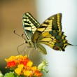 Butterfly on lantana  — Stock Photo