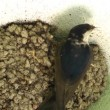 Mother Bird Feeds Baby birds — Stock Video