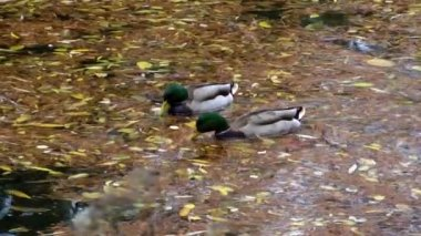 Ducks and Leaves on the Lake — Stock Video