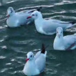 Seagulls on the Water — Stock Video