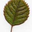 Leaves — Stock Photo #41285031