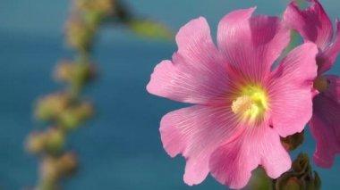 Pink Flower — Stock Video