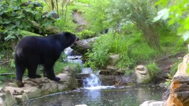 Bear and the Creek — Video Stock