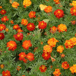 Marigolds flowers — Stock Photo
