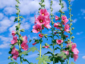 Mallow on a background of blue sky — Stock Photo
