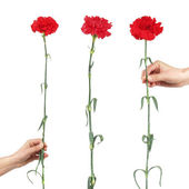 Three carnations with a female hand on a white background — Stock Photo