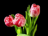 Pink tulips bouquet isolated on black background — Stock Photo