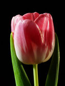 Pink tulips flower isolated on black background cutout  — Stock Photo