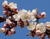 Apricot flowers and buds blooming at spring  — Stock Photo