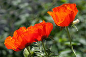 Red poppy flowers in the garden — Stockfoto