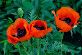 Red poppy flowers in the garden — Stock Photo