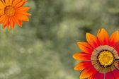 Orange flowers as a holiday postcard design — Stock Photo