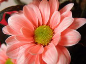 Pale pink flower — Stock Photo