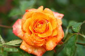 Bright orange rose — Stock Photo