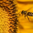 Stock Photo: Honeybee Hovering