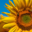 Stock Photo: Honeybees and Sunflower