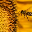 Honeybee Hovering — Stock Photo