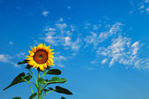 Sunflower and the sky with clouds — Stock Photo
