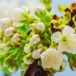 Cherry Flower Blossoming Time Lapse — Stock Video #29290415