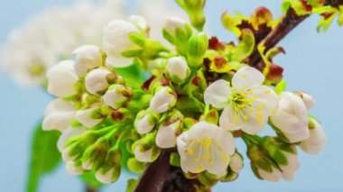 Cherry Flower Blossoming Time Lapse — Stock Video