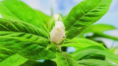 Medlar (wolfberry) Flower Blossoming — Stock Video