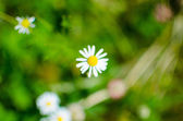 Sweetly fragrant blooming daisies in a meadow — Stock Photo