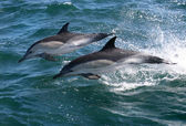 Common Dolphins — Foto Stock