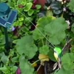 fiore di geranio — Foto Stock