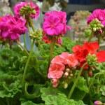 Geranium flower  — Stock Photo #31500885