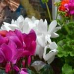 Geranium flower  — Stock Photo #31501009