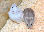 Two hamsters — Stock Photo