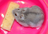 Hamster glutton — Stock Photo