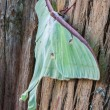 Luna Moth on Cypress Bark — Stock Photo