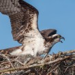 Osprey on Nest — Stock Photo